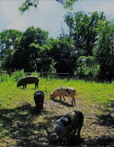 bottle farm pigs